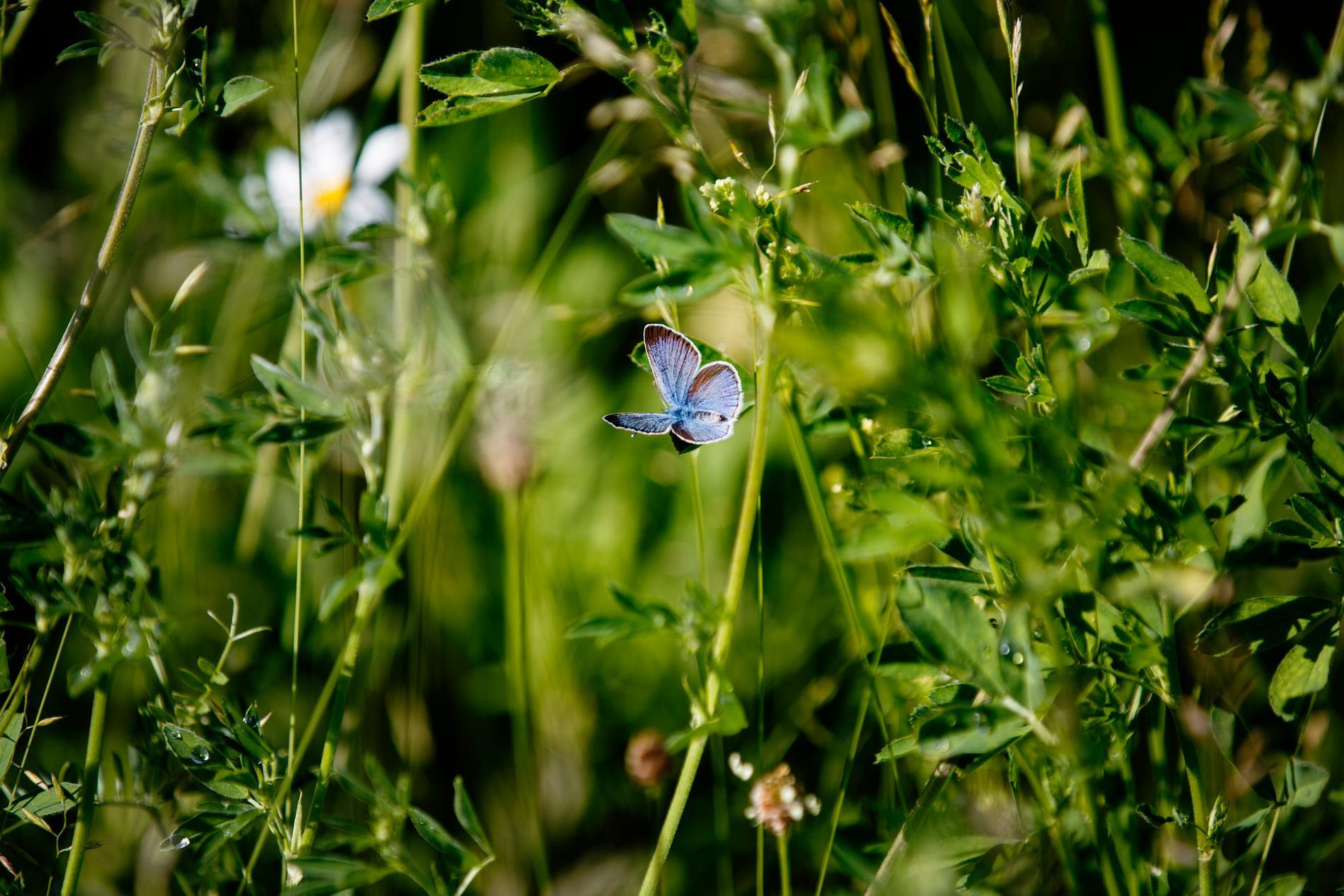 Ängsmark och en klöverblåvinge – en artrik men hotad naturtyp i Sverige då många betesmarker får växa igen. Arkivbild.