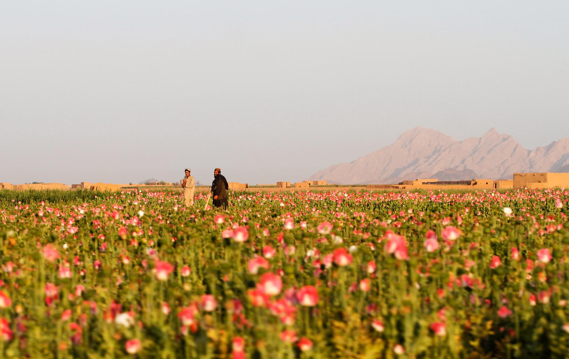 Vallmofält som används för att producera illegala opiater i afghanska Kandahar. Arkivbild.