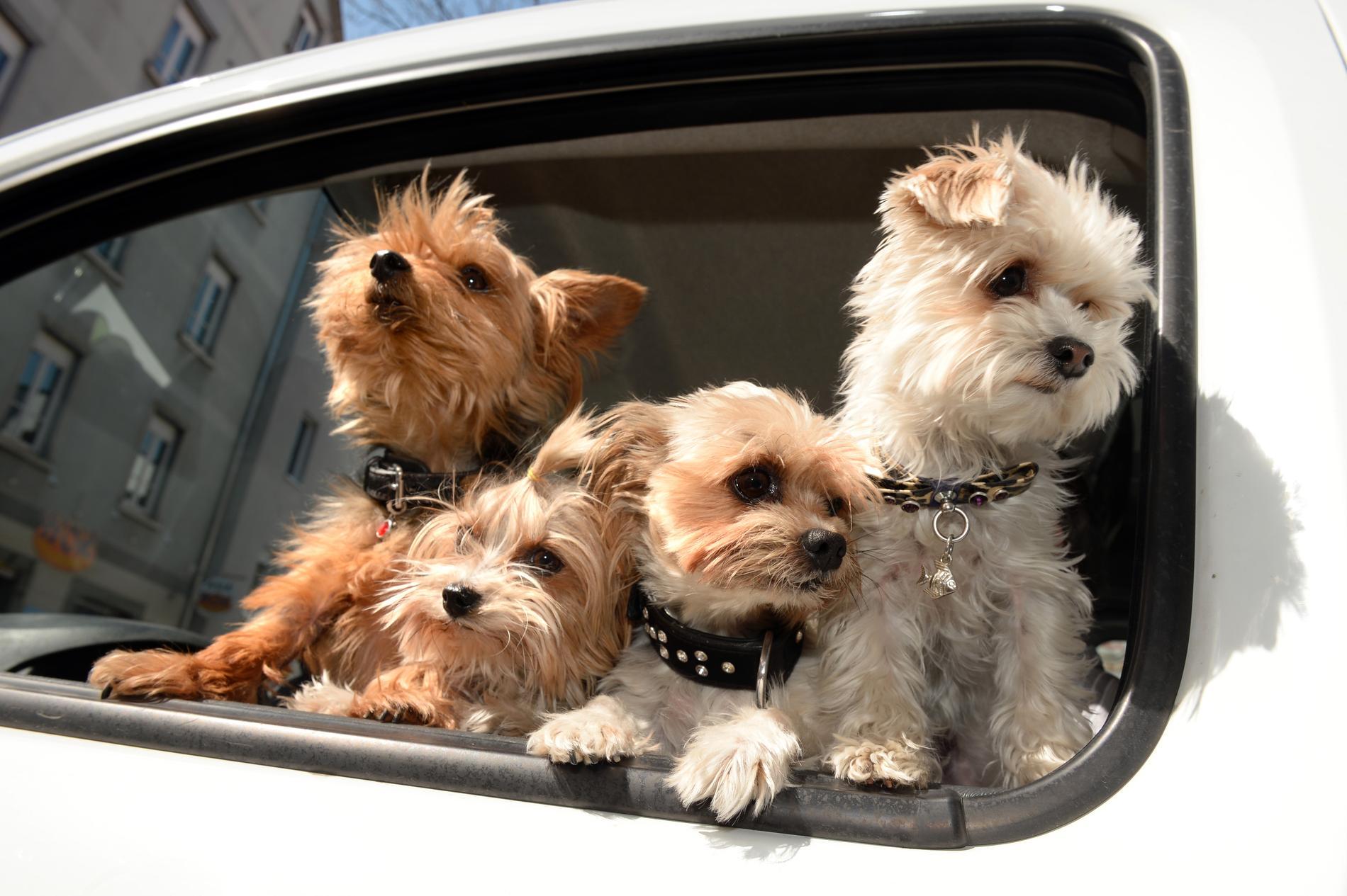 Ser du en hund i en varm bil? Nu går polisen ut med information om hur du ska göra. Foto: Felix Kaestle/TT Bild