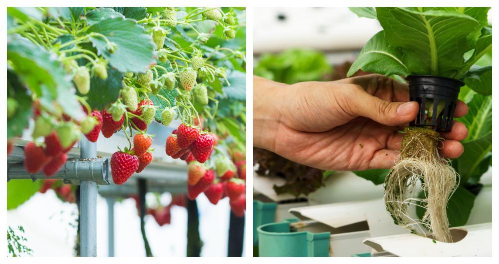 Det går att odla det mesta som växer ovan jord med hydroponisk odling.