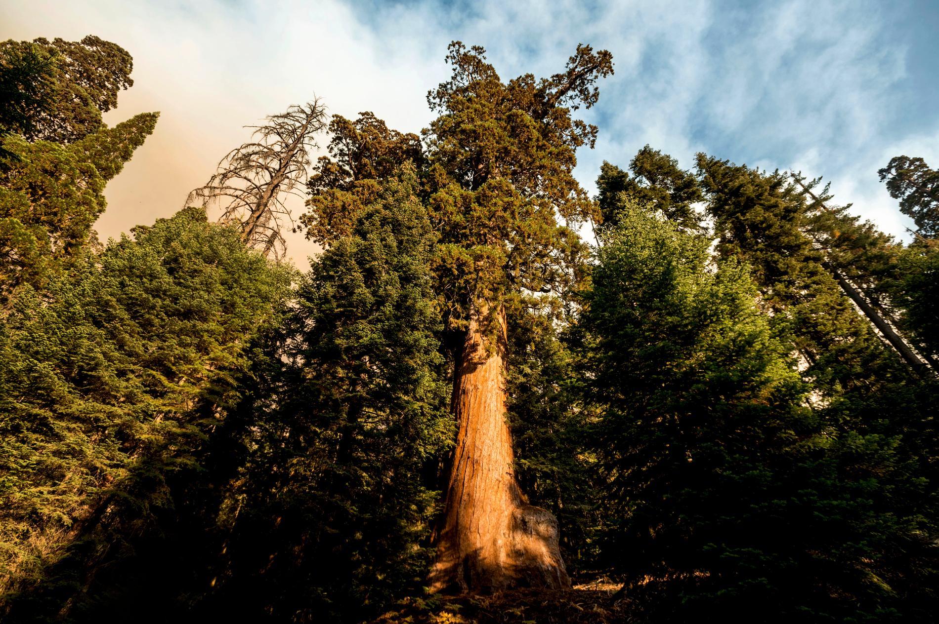 Brandrök nära ett jättelikt redwoodträd i nationalparken Sequoia National Forest i Kalifornien.