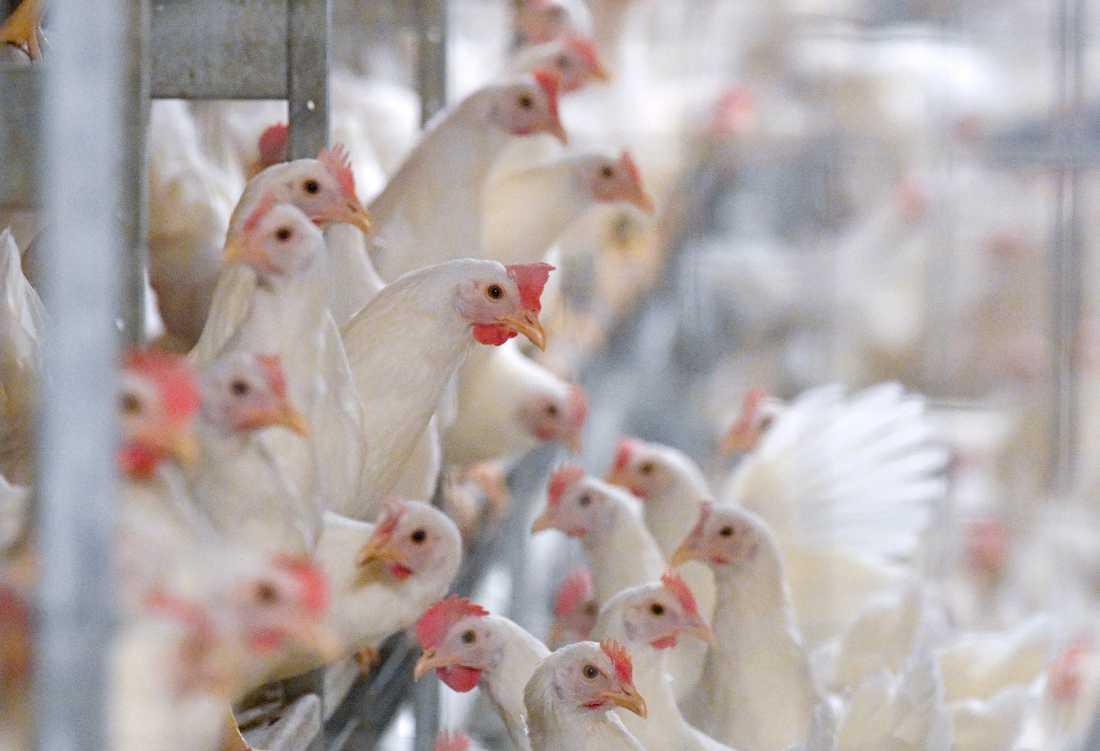 Bara den senaste vintern har Sverige haft sju utbrott av fågelinfluensa.
