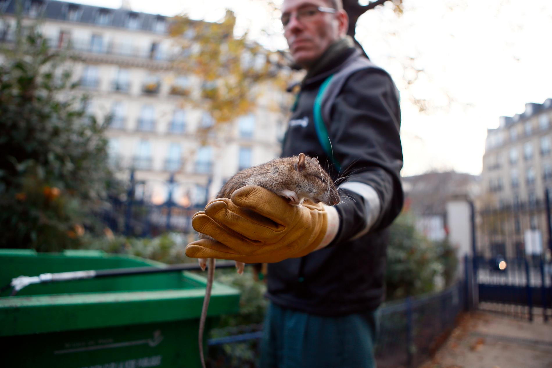 Råttplågan i Paris har långa anor. Arkivbild.
