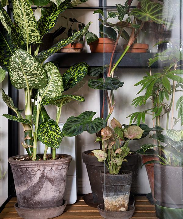 Växthuset från Juliana är inköpt från Willabgarden, och gör det möjligt att odla tropiska växter som inte gillar det svenska inomhusklimatet, speciellt på vinterhalvåret. Luftfuktare och växtlampor gör att växterna får rätt klimat året om.