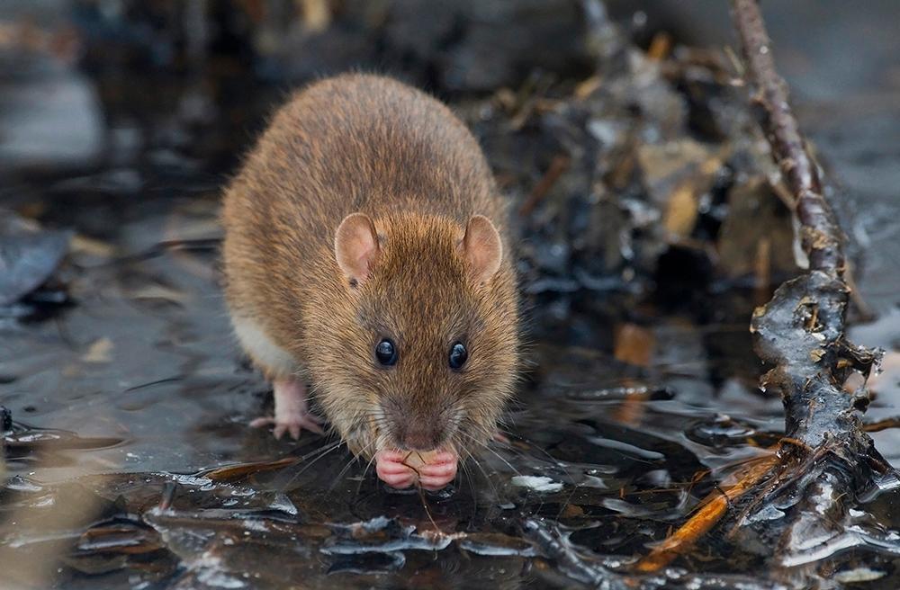 Slipp råttan inomhus