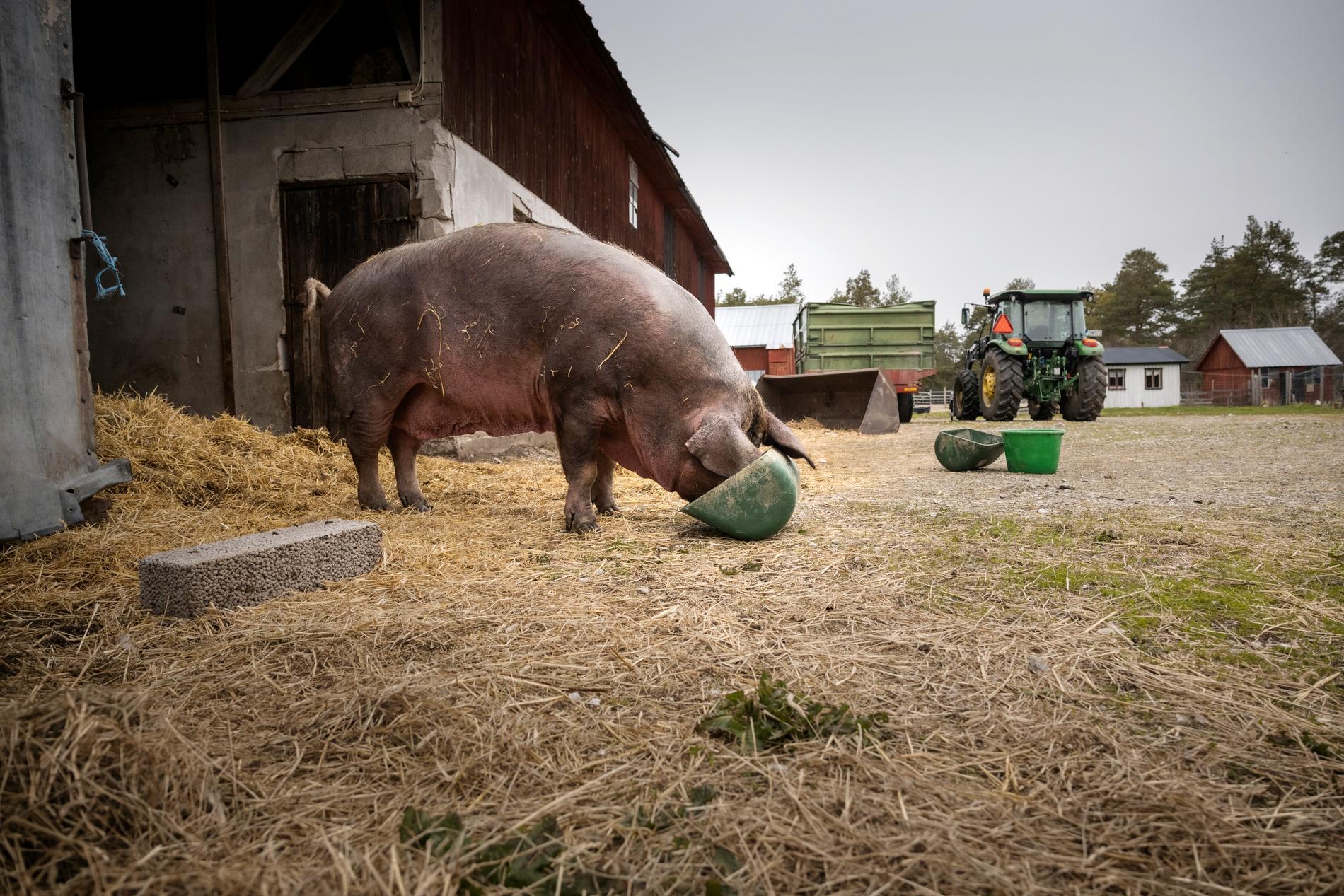 En sugga har svårt att äta och skakar i hela kroppen, som av feber. Flera av grisarna bedöms som gravt överviktiga av Länsstyrelsen och så sjuka att de avlivas på plats.