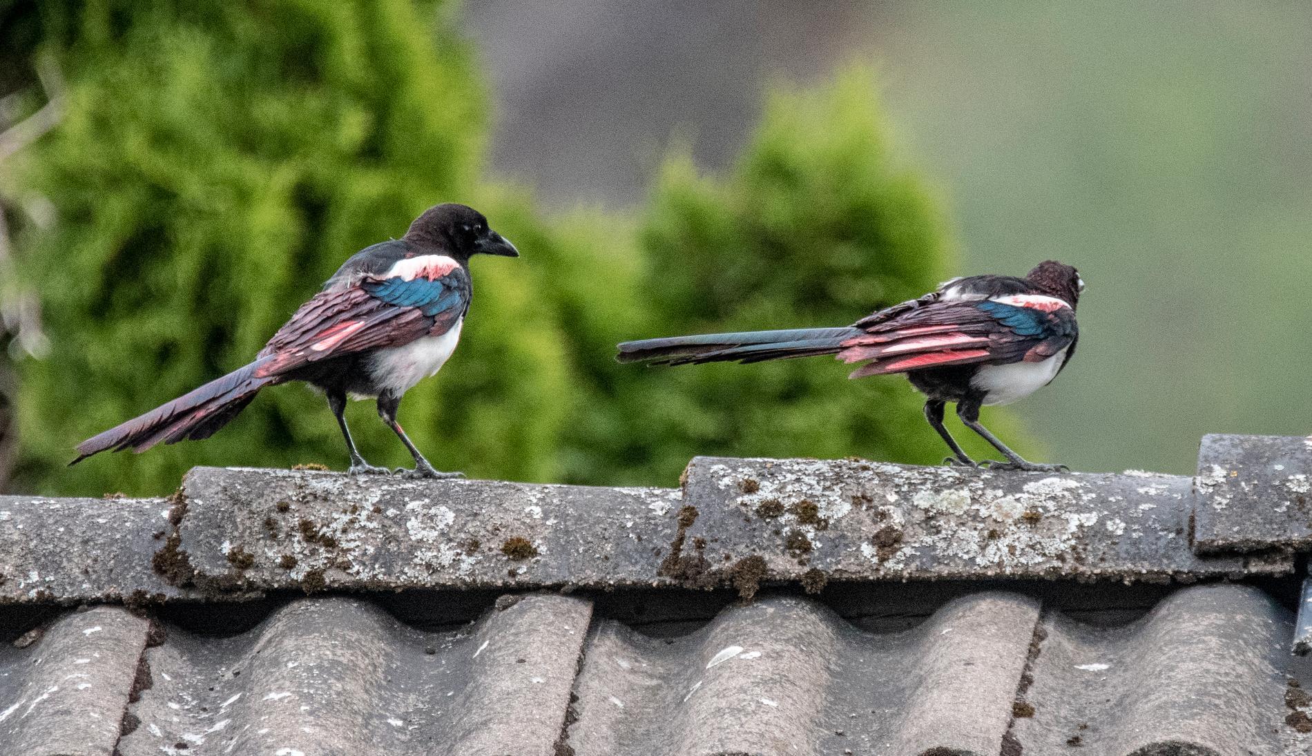 Fåglarna tros vara syskon.