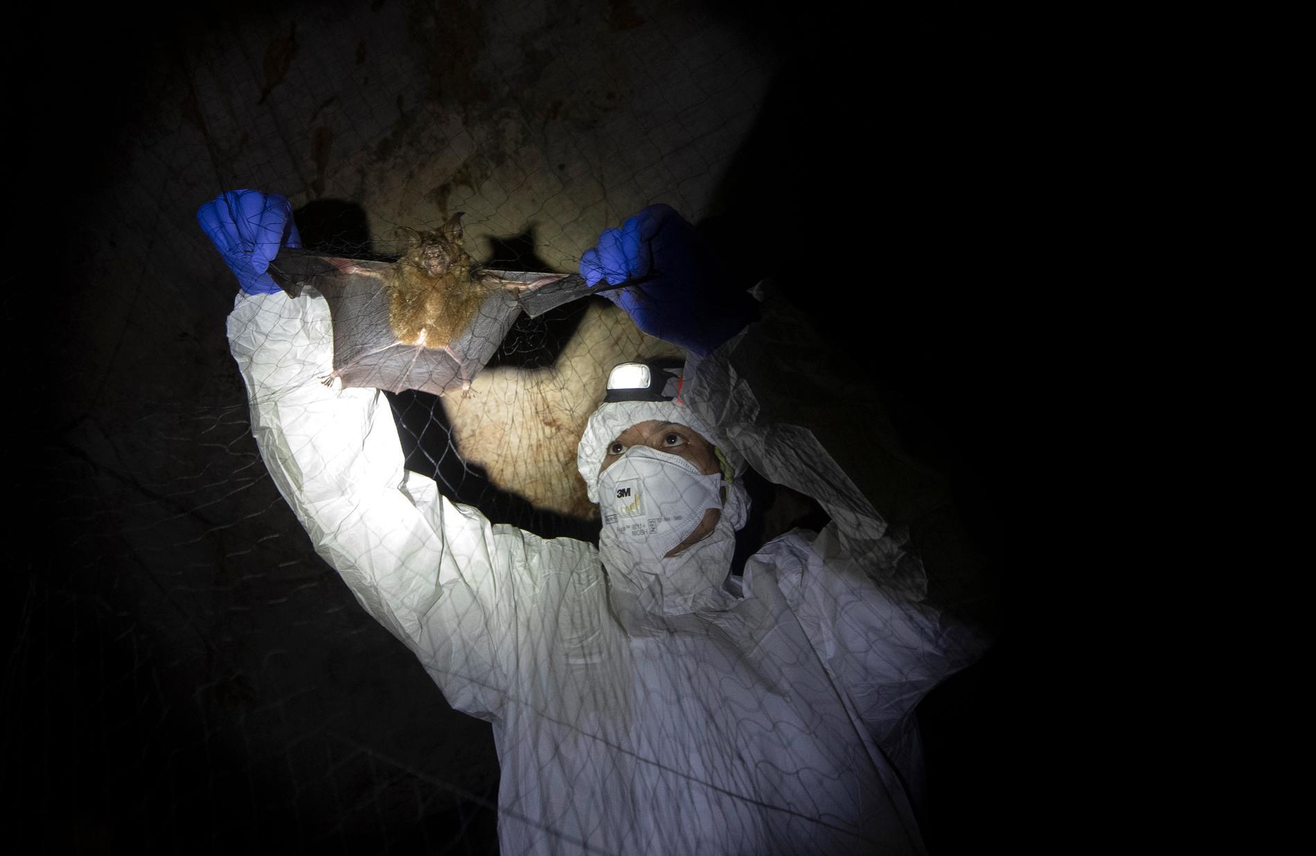 Virusjägare undersöker en fladdermus.