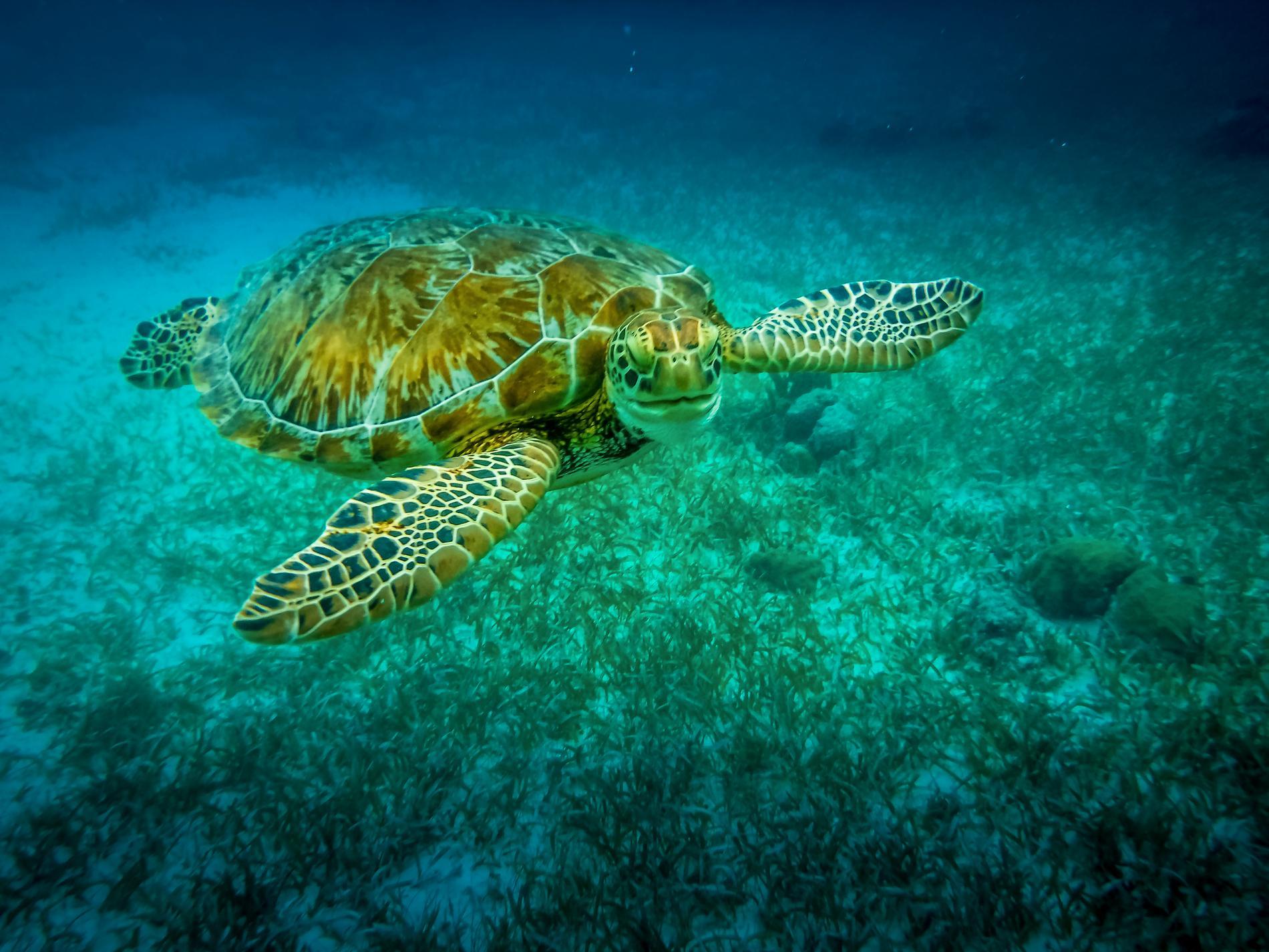 Utanför Caye Caulker går det bland annat att se sköldpaddor.