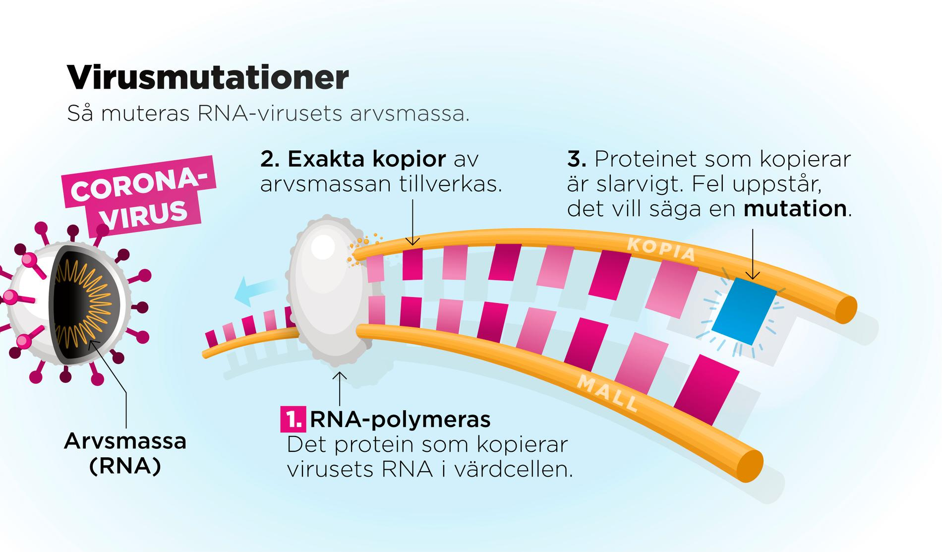 Coronaviruset är ett så kallat RNA-virus. I dessa virus består arvsmassan av RNA. När virusets protein misslyckas med att kopiera arvsmassan uppstår en mutation.
