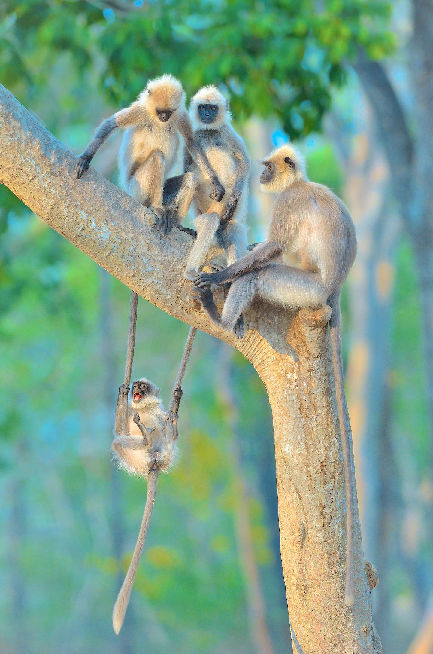 """""""Fun For All Ages"""". Langurer som roar sig på bästa sätt i Kabini, Indien."""