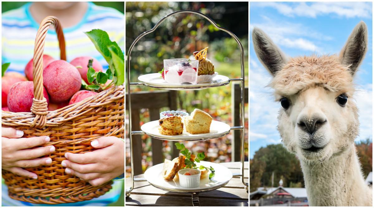 Skördefester, afternoon tea... och alpackor?