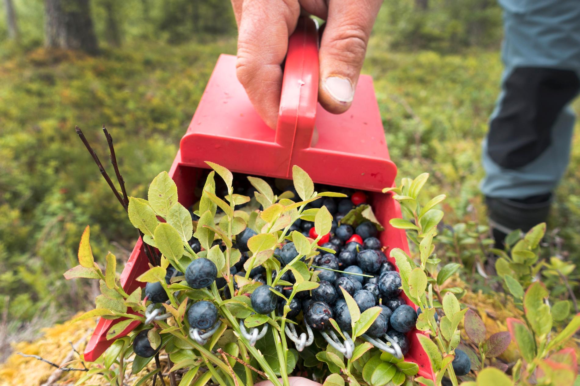 Trots att det finns rekordmycket blåbär i skogarna stiger priset. Arkivbild.