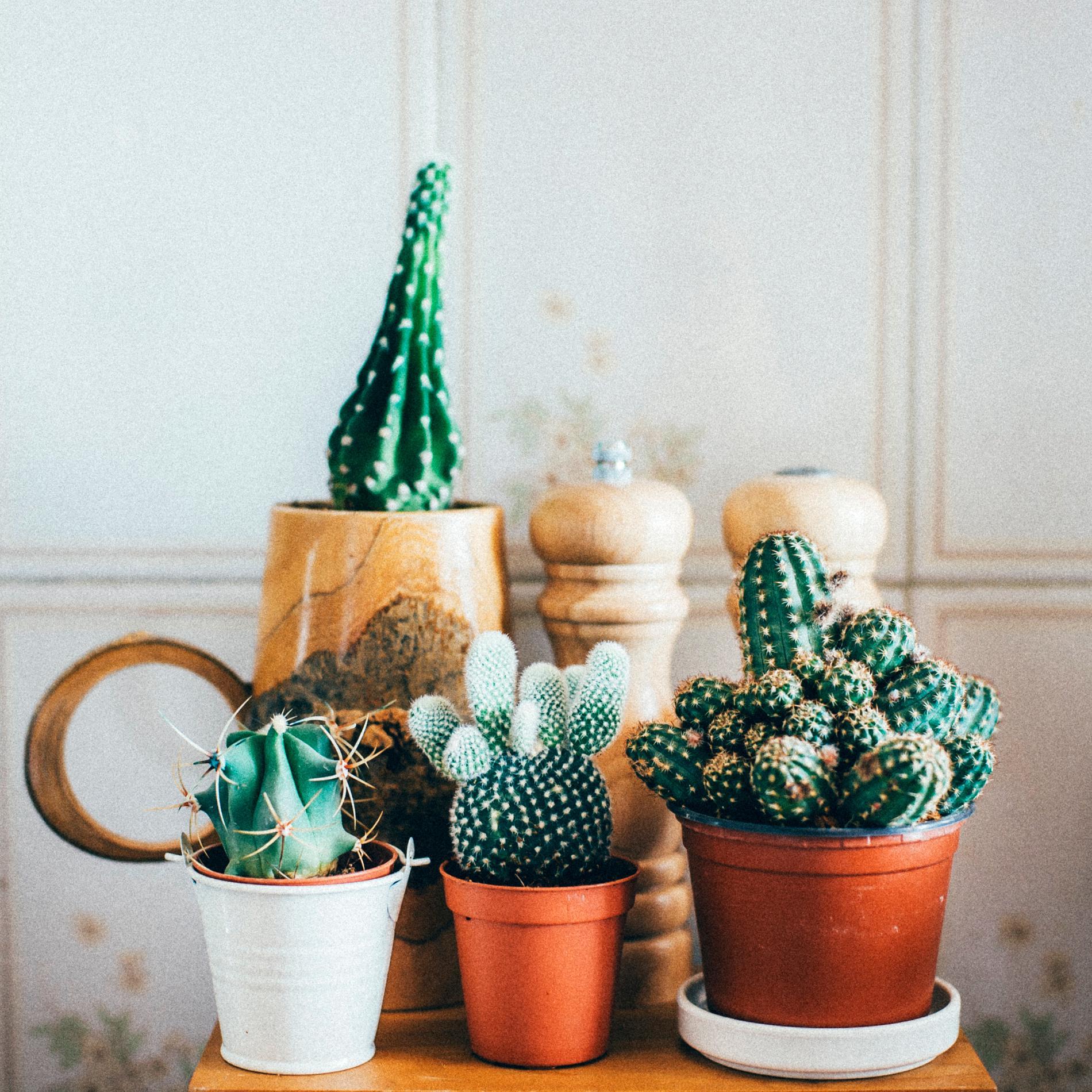 En grupp kaktusar blir ett fint stilleben.
