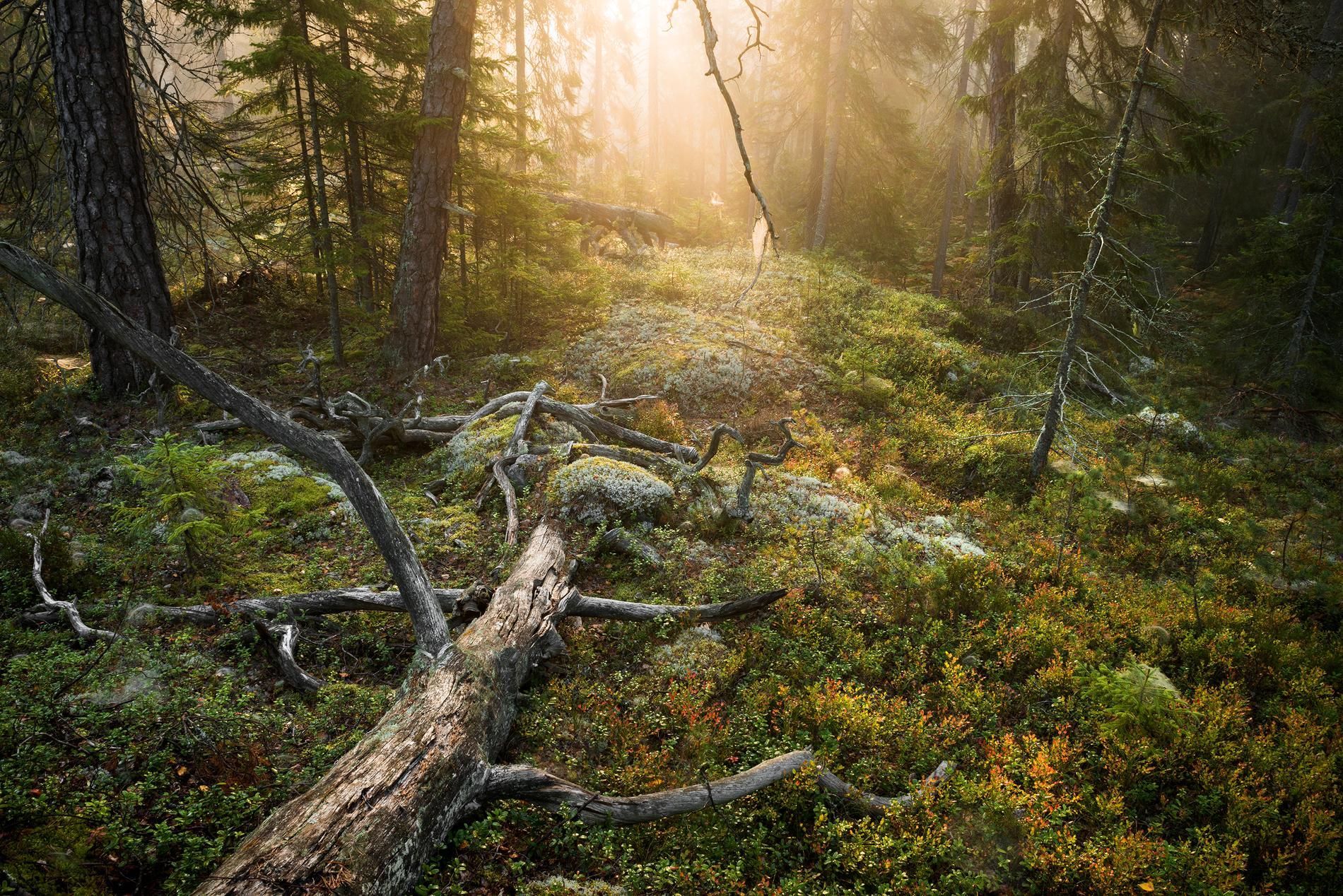 Morgon vid urskogsstigen