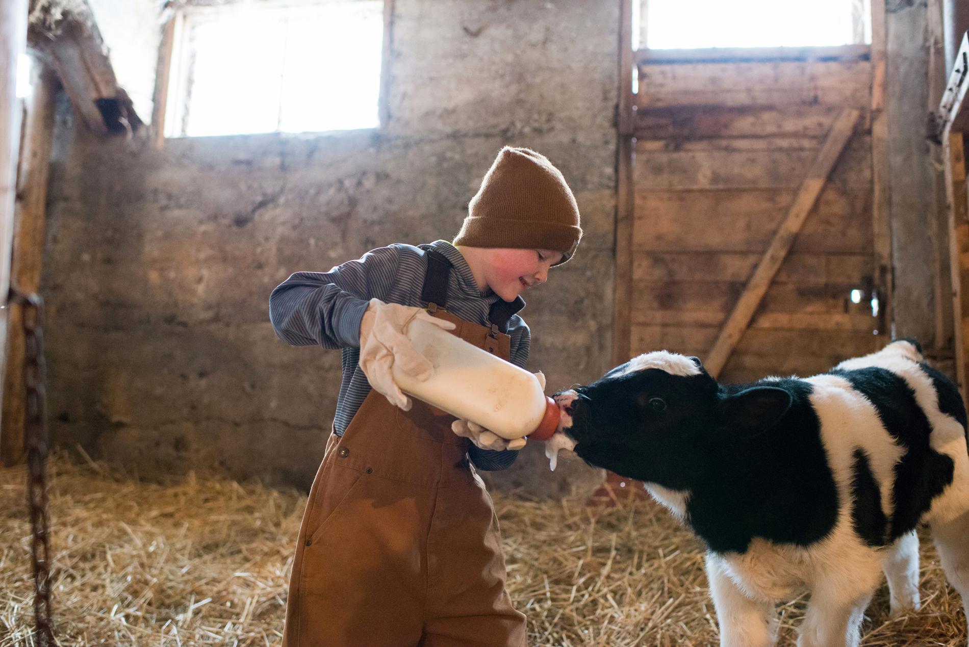 Ett barn matar en kalv.