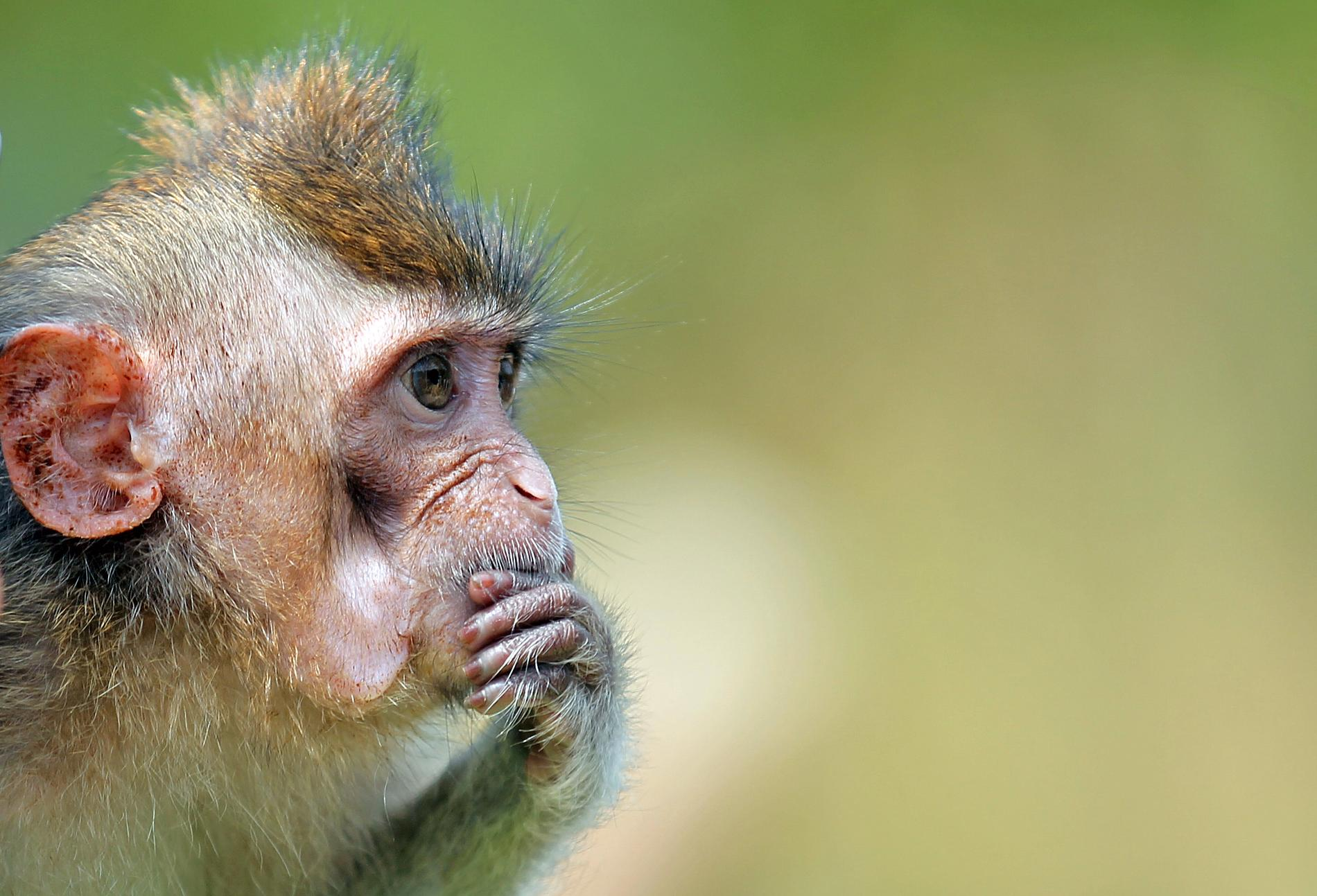 Makaker har räddats undan smugglare i Thailand – apan på bilden har dock inte med smugglingen att göra. Arkivbild.