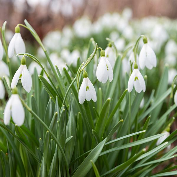Galanthus nivalis är den vanligaste snödroppen. Den härstammar från Balkan och trivs i Sverige