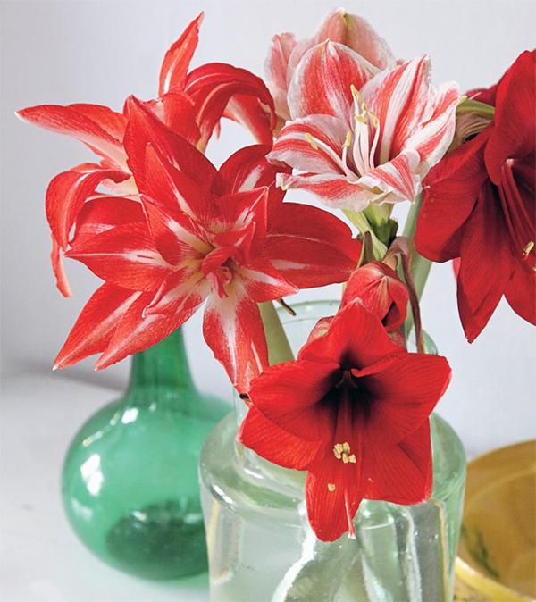 Din amaryllis kan blomma länge om du byter vatten regelbundet, åtminstone varannan dag.