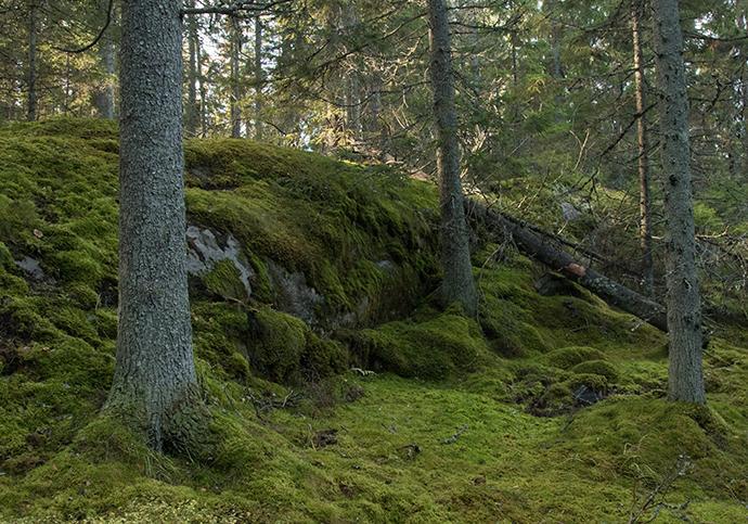 I Tyresta nationalpark finns riktig urskog.