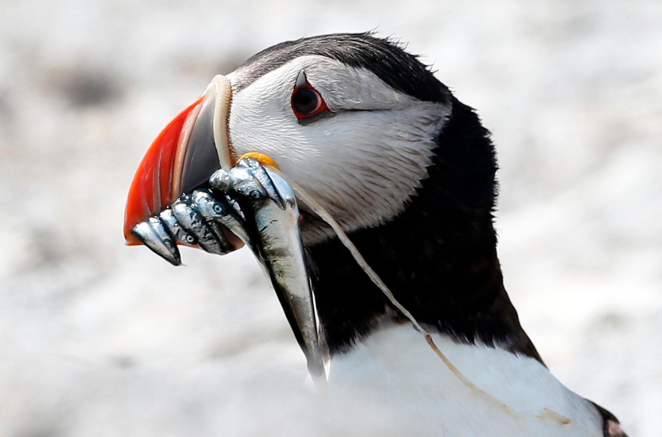 Lunnefågeln lever vid Nordatlanten med fisken kungstobis som primär föda. En fisk som industrifiskas för att bli till jordbruksfoder och gödselmedel.