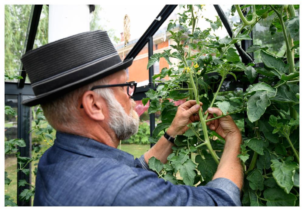 Ta bort tjuvarna på tomaterna.