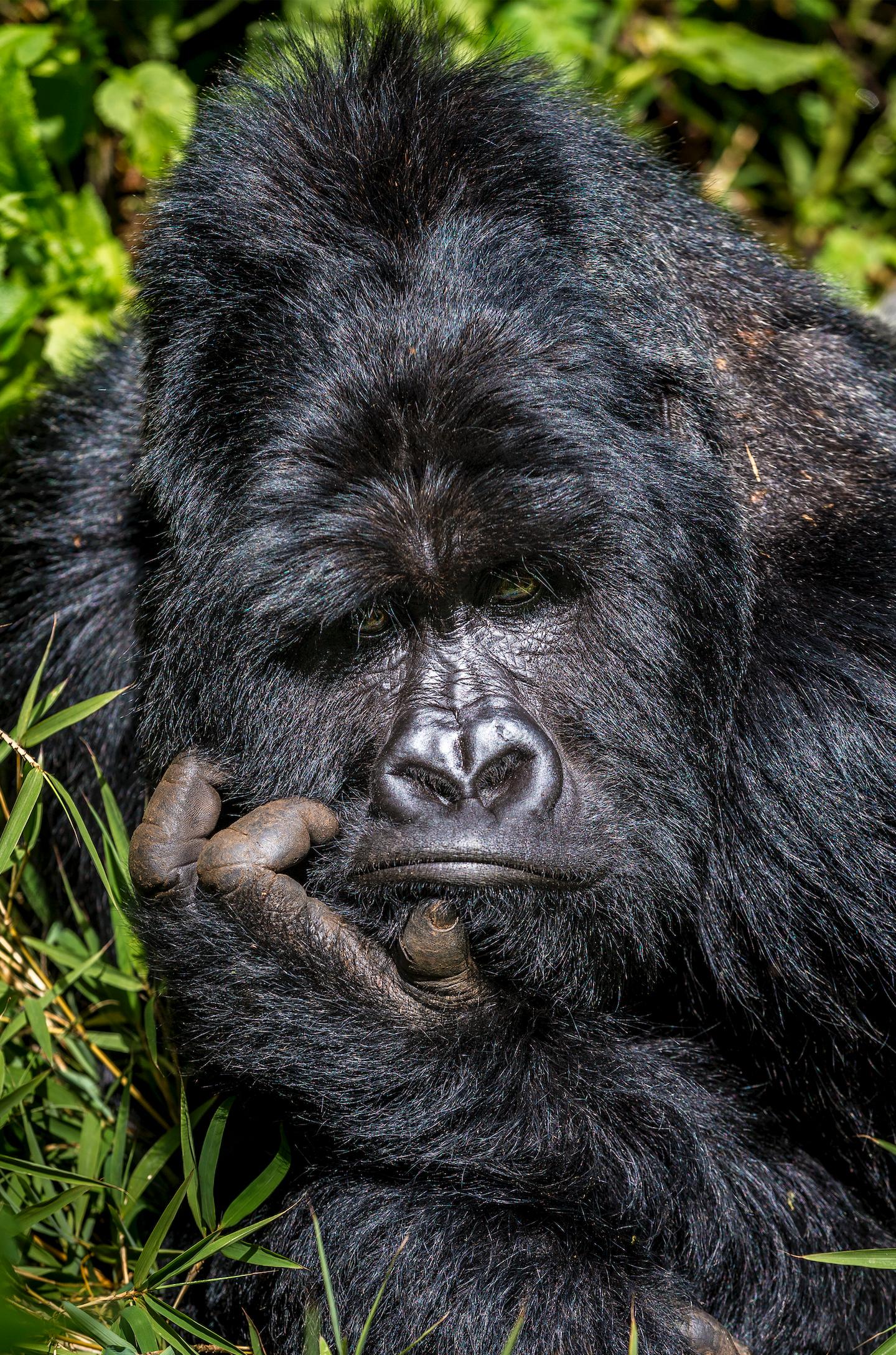 """""""Boredom"""". En bergsgorilla som är uttråkad i gorilla- nationalparken Mgahinga i Uganda."""