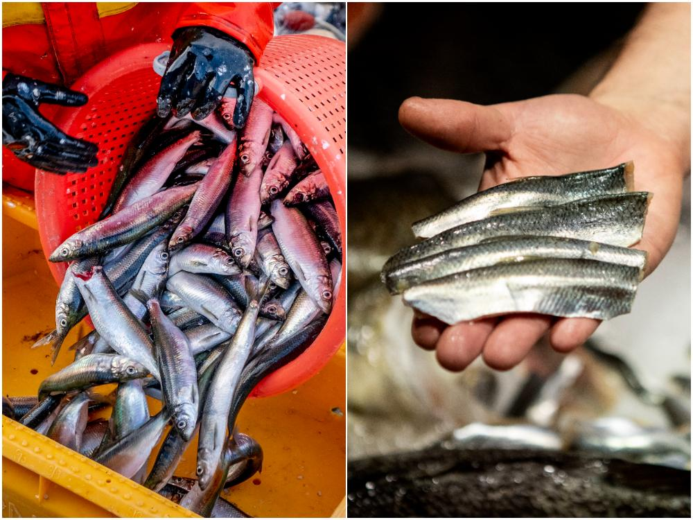 Gifterna biter sig fast som bäst i feta fiskar som sill och strömming.
