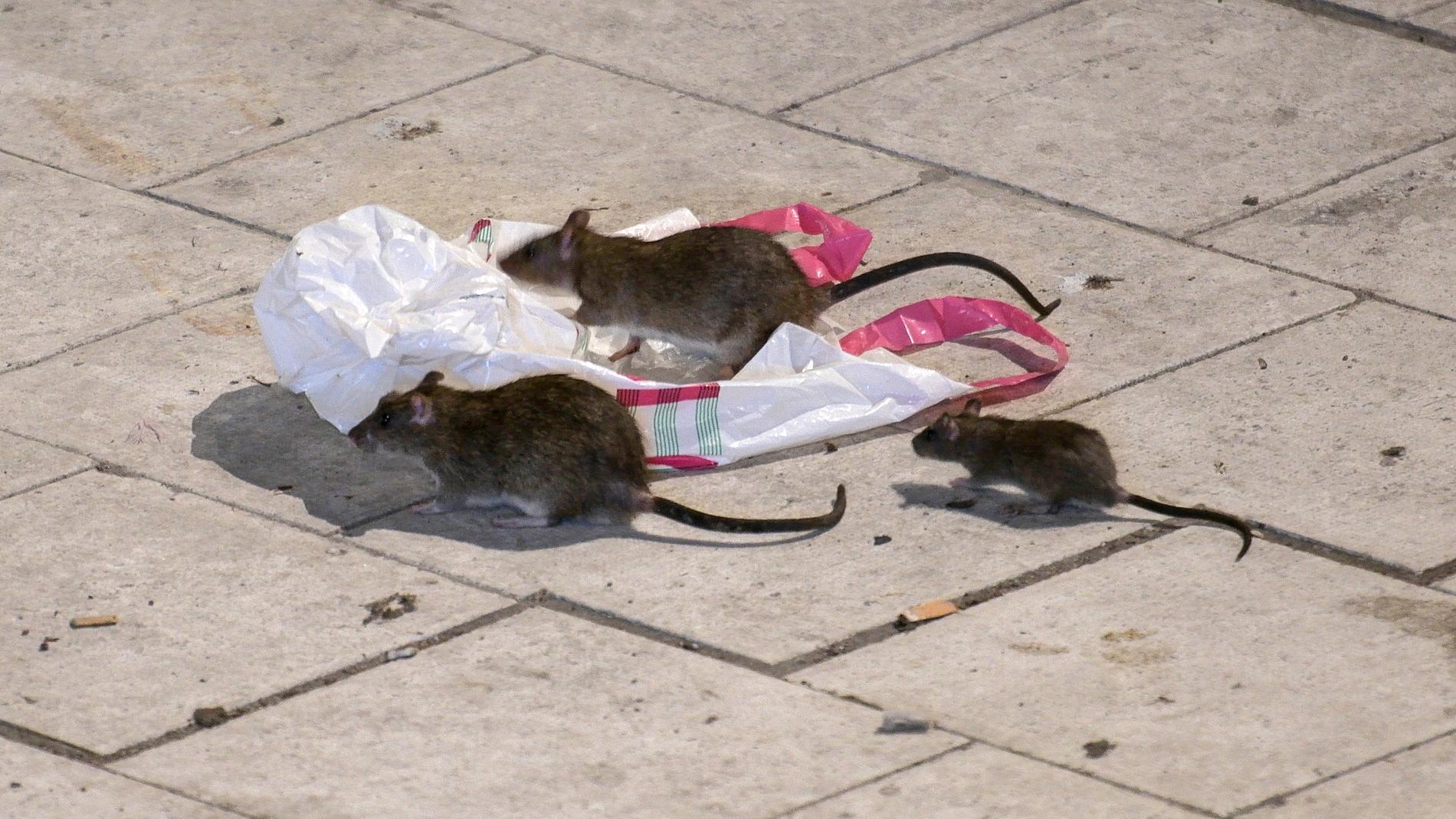 Råttor på Sergels torg.