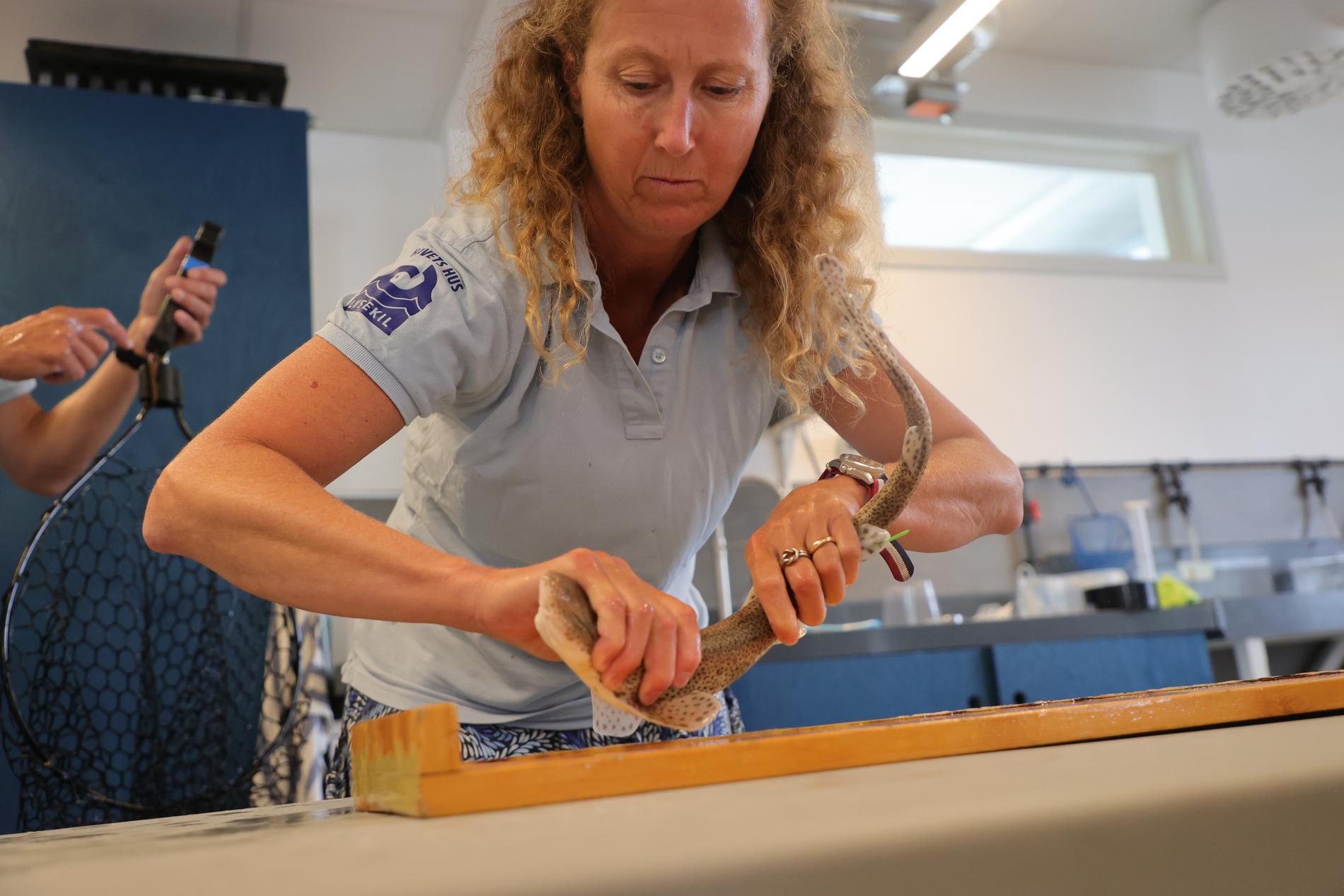 Helen Sköld, akvariechef på Havets hus, mäter en småfläckig rödhaj innan utsläppet i havet. Samtliga är födda och uppvuxna på Havets hus i Lysekil.