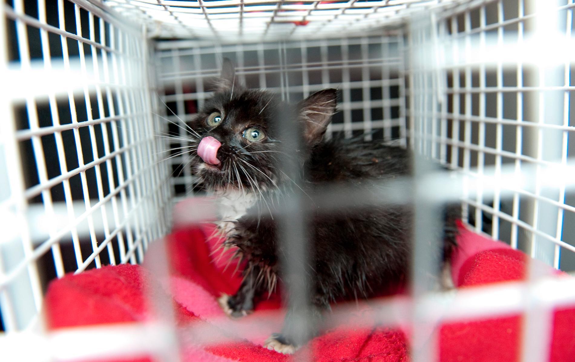 En förvildad kattunge på djursjukhus. Arkivbild.