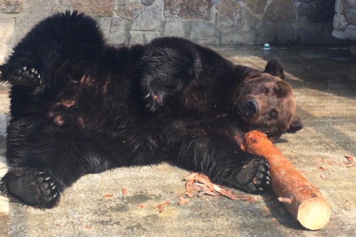 Brunbjörnen Stepan drabbades av kramper och dog efter ett dygn.