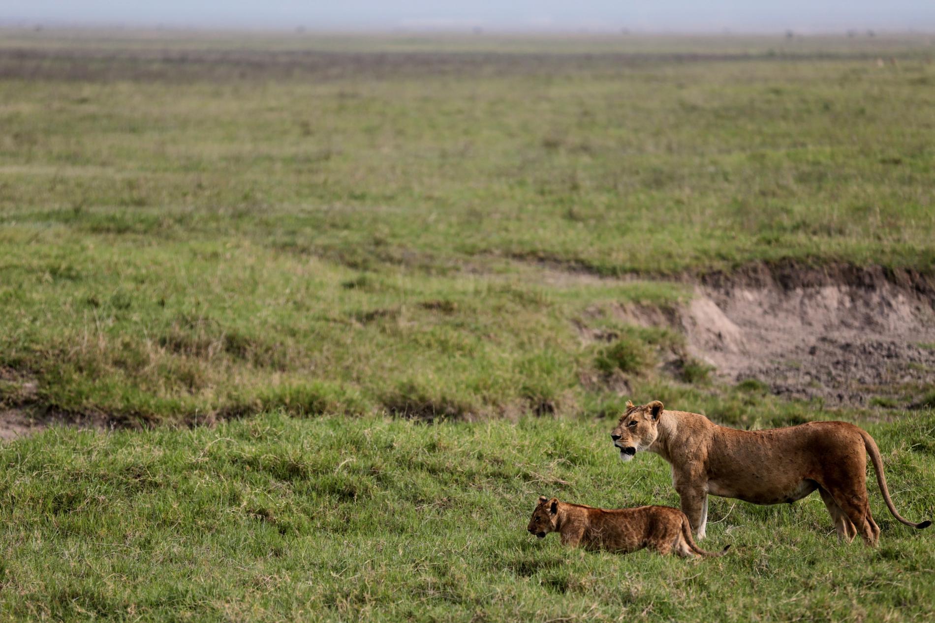 Lejon är en ständig fara för boskap och människor i Ngorongoro. Arkivbild.