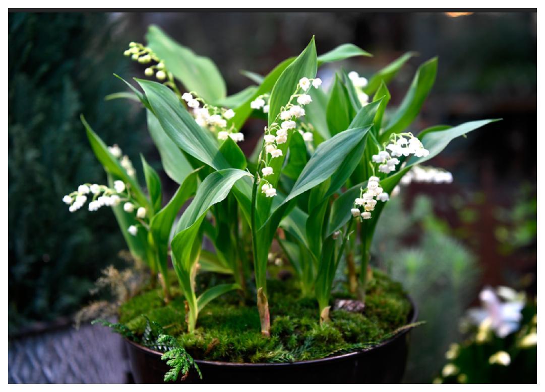 Liljekonvaljerna som blommar till jul kallas iskonvaljer.