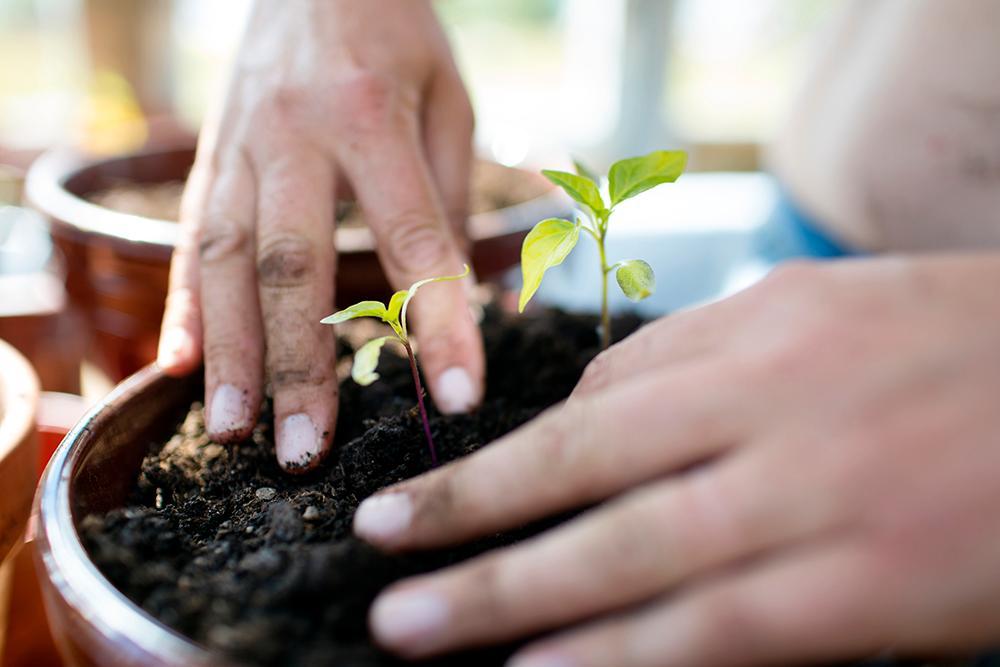 När du odlar chili behöver du plantera om flera gånger för att få bästa resultat.