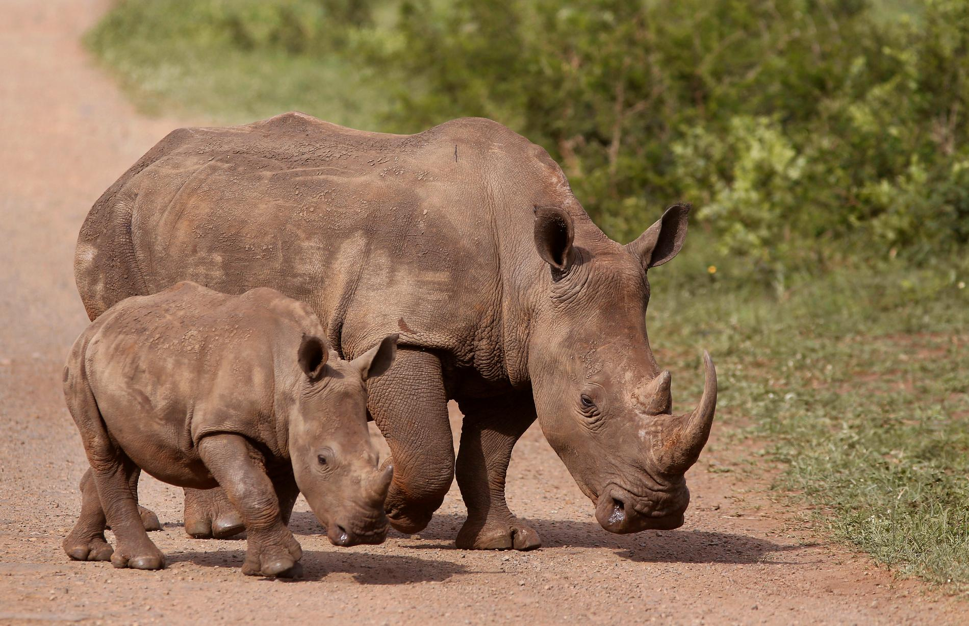 I Sydafrika ökar tjuvjakten på noshörning igen, efter att ha minskat under nedstängningarna. Arkivbild