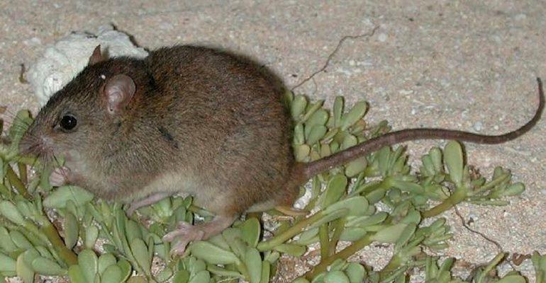 Den lilla Bramble Cay-råttan (Melomys rubicola) har inte setts till på tio år och är nu officiellt utrotad. Studier pekar på att klimatförändringar orsakade av människan är boven. Arkivbild.