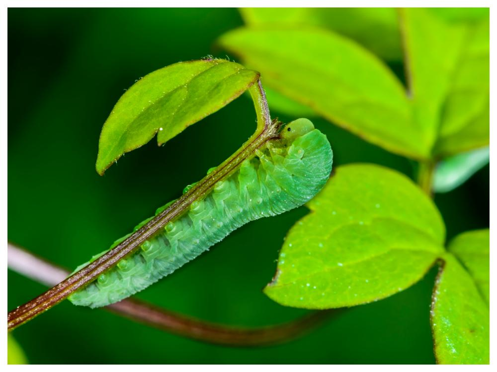 Klematisbladstekelns larver äter rent en klematis på nolltid.