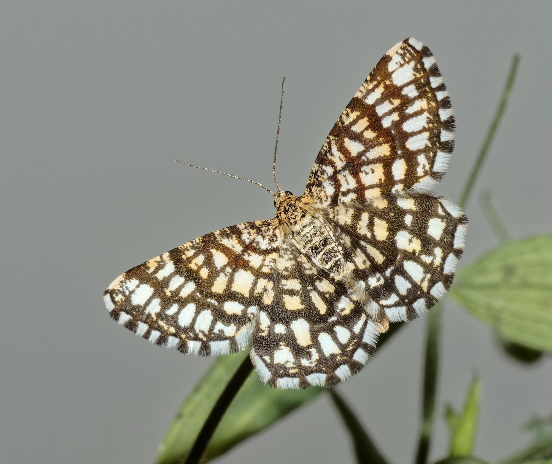 Stadsfjärilarna anpassar sig – mer fruktsamma