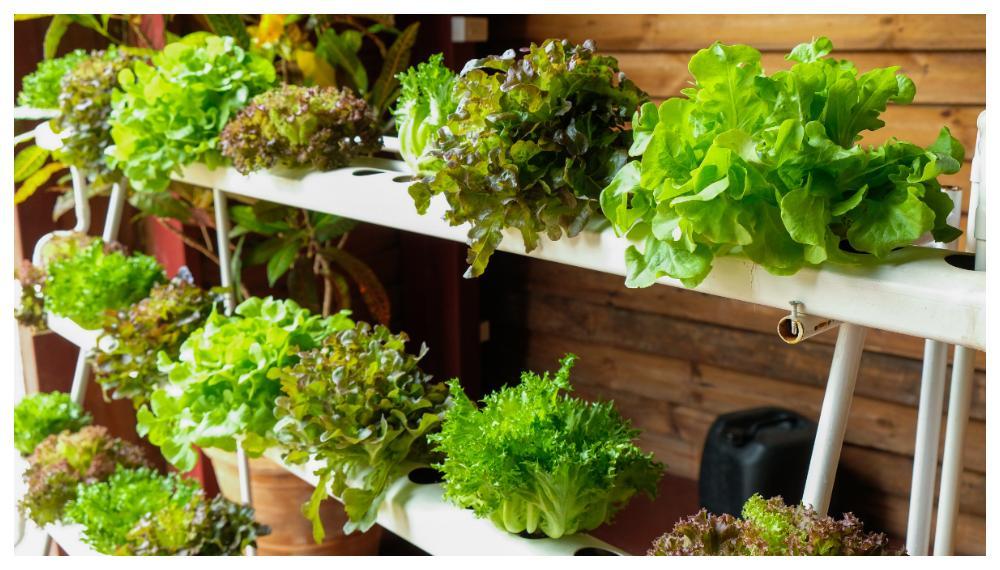 Sallad passar bra att odla hydroponiskt.