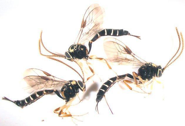 nya i norr Tre stycken Brachycyrtus ornatus, en ny insektsart för Skandinavien.