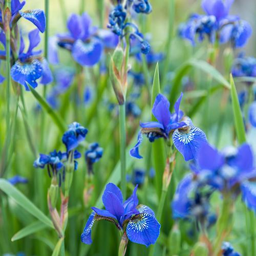 Irisen är en ståtlig perenn (flerårig, blommande ört). Det finns sorter både för torra och fuktiga lägen.