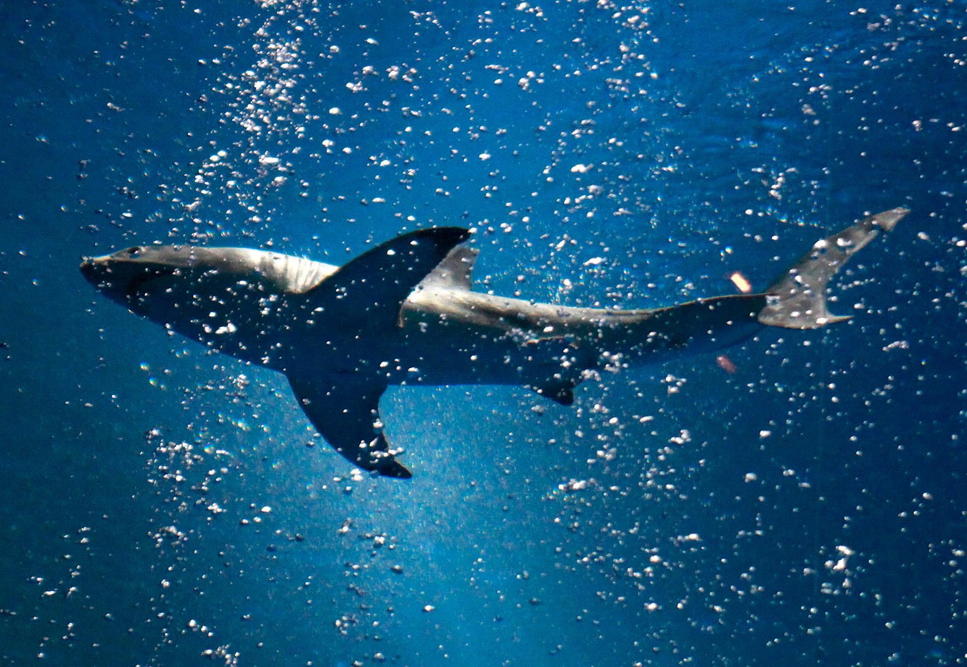 Vithajen ingår i gruppen håbrandsartade hajar. En grupp som är mindre bra på att anpassa sig. Arkivbild.