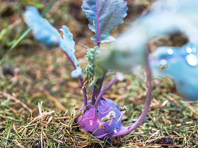 Runt kålrabbin syns gräsklipp som Gabriella använder som täckodling.