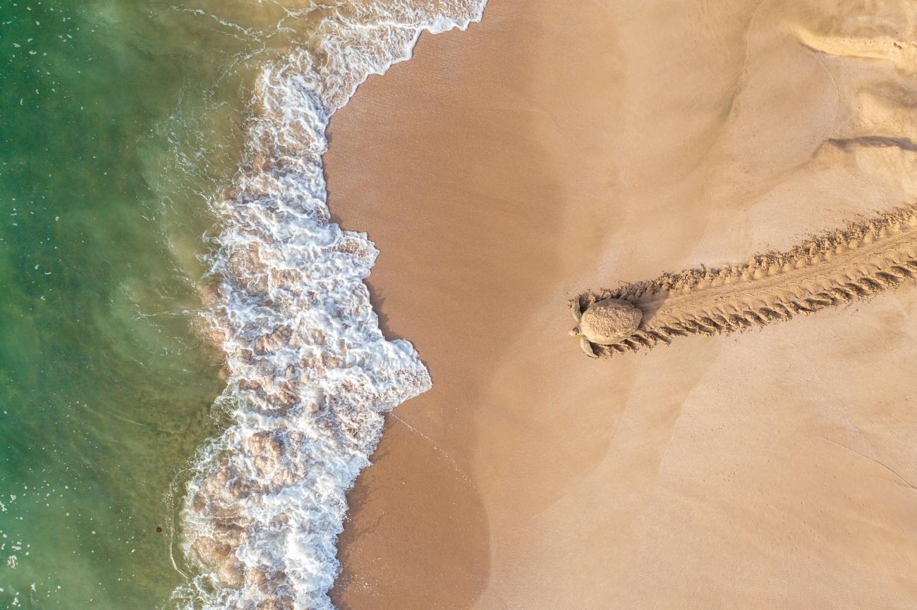 """""""En sköldpadda på väg tillbaka till vattnet efter att ha lagt ägg i sitt lugna bo vid Omans kust mellan Ras Al Jinz och Rashad sköldpaddoreservat."""""""
