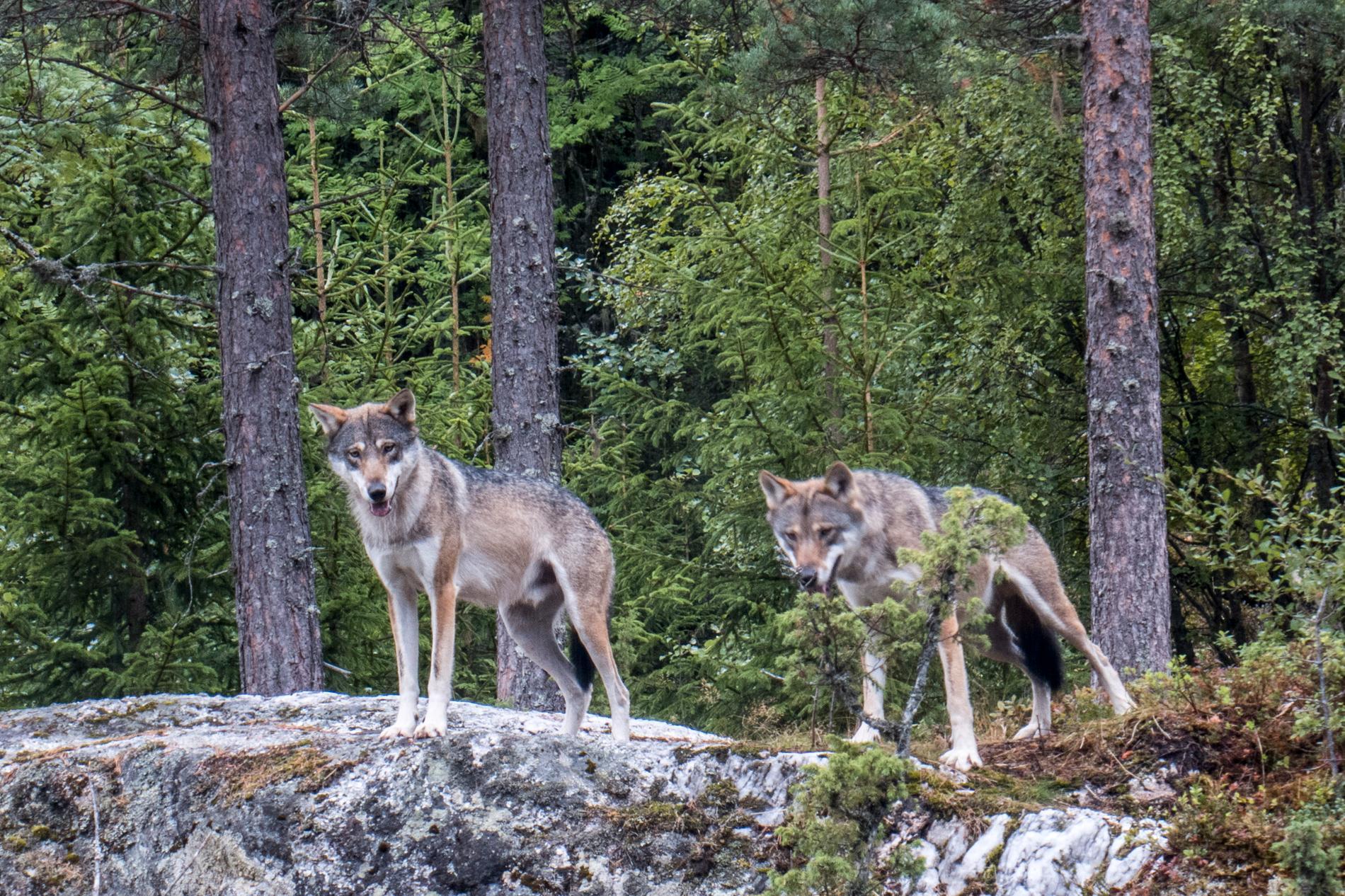 Två vargar sköts efter attacken. Vargarna på bilden har inget med händelsen att göra.