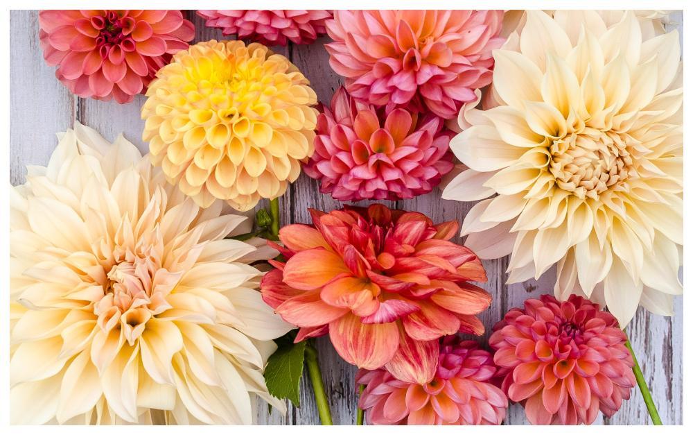Dahlior finns i mängder av färger och former.