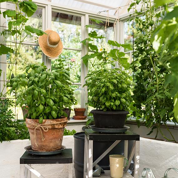 Basilikaplantorna är uppdrivna av frön och har växt sig starka och frodiga i den optimala växthusmiljön.