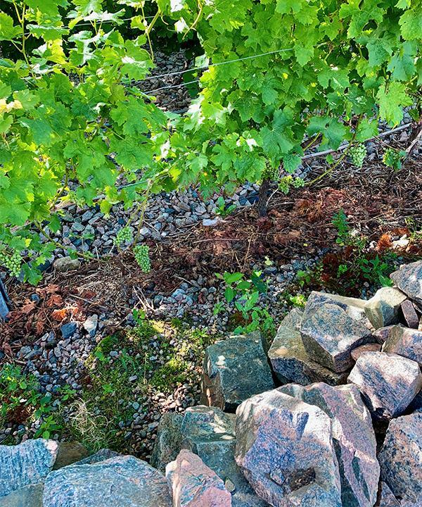 VARMA STENAR På Vejby vingård köpte man in stenar från bygget av Hallandsåsen. Stenarna konserverar solvärmen och gör mikroklimatet fler grader varmare.