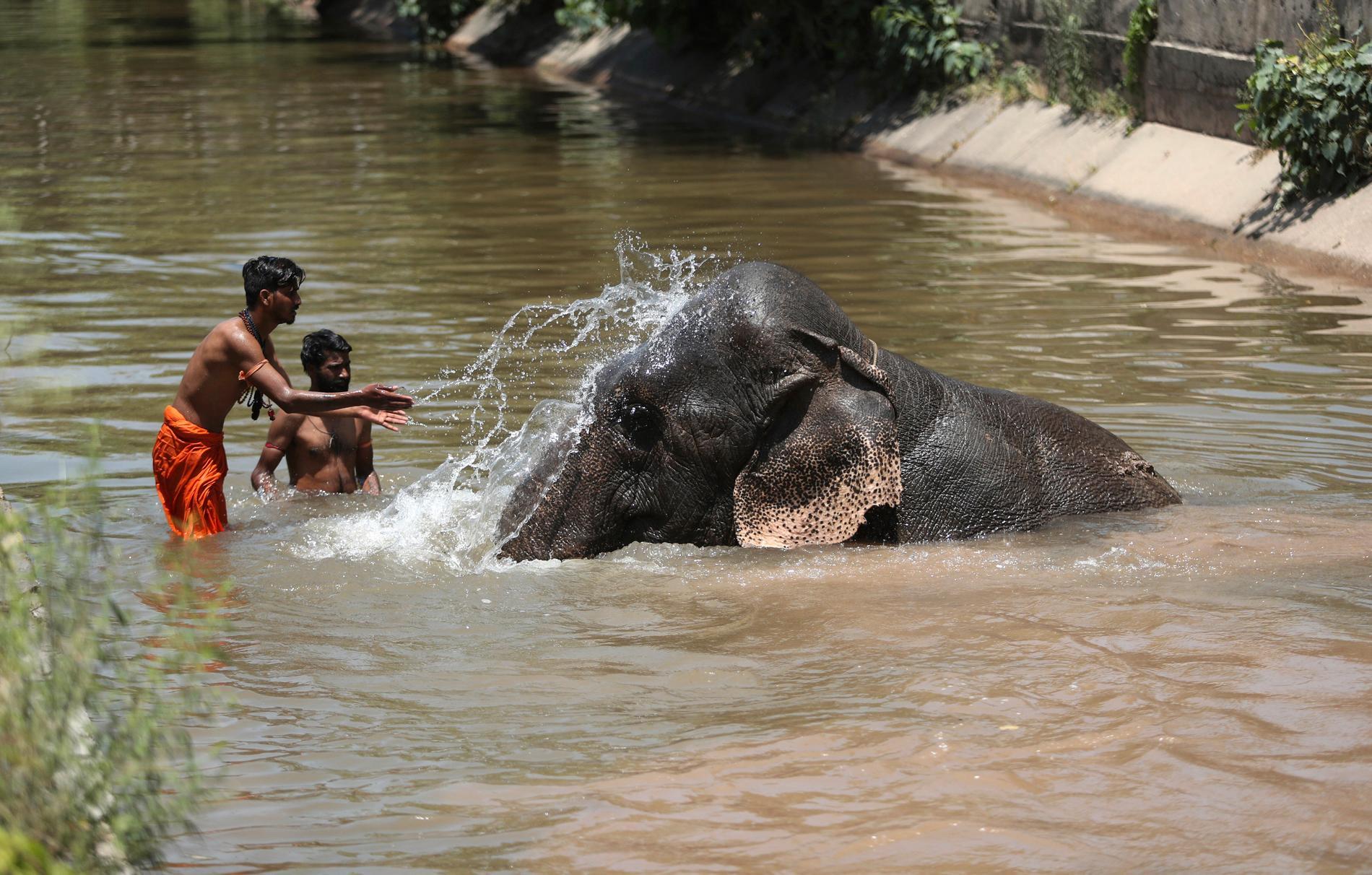 Mahouter (elefantskötare) svalkar sig tillsammans med sitt djur i staden Jammu på tisdagen.